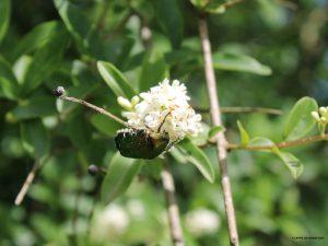 Scarabé sur fleur